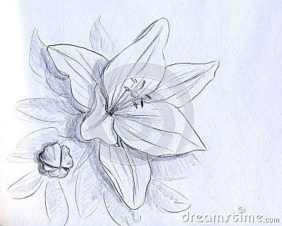 Flor da íris - esboço do lápis