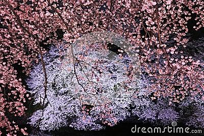 A flor de cereja ilumina-se acima