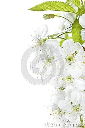 Flor de cereza