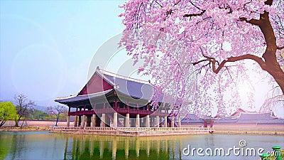 Flor de cerezo en la primavera del palacio de Gyeongbokgung en Seul, Corea metrajes