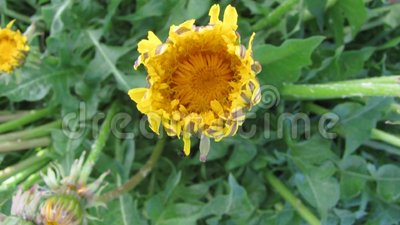 Flor de la abertura del diente de león de la flor - vídeo del timelapse almacen de metraje de vídeo