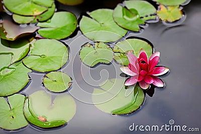 Flor de loto rosada del lirio de agua