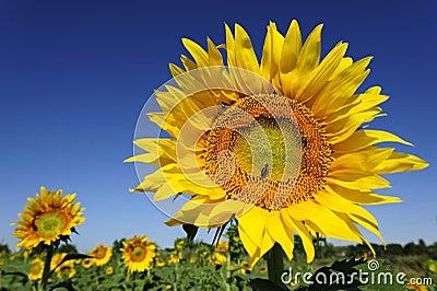 Flor de un girasol
