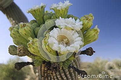 Flor del cacto del Saguaro