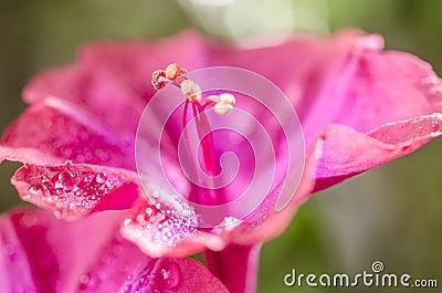 Flor del color de rosa del jalapa del mirabilis