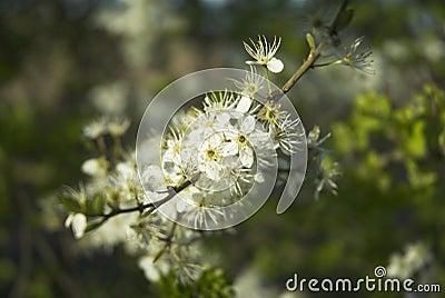 Flor del endrino