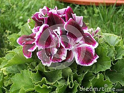Flor del geranio