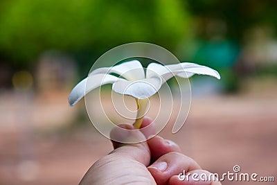 Flor del Lan Thom