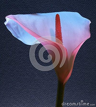 Flor del lirio blanco