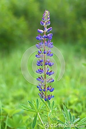 Flor del Lupine
