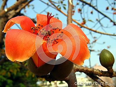 Flor del árbol rojo del algodón de seda