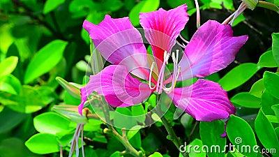Flor do blakeana do Bauhinia vídeos de arquivo