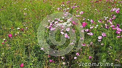 Flor do cosmos com o sopro do vento no campo filme