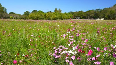 Flor do cosmos com o sopro do vento no campo vídeos de arquivo