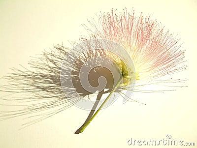 Flor do Mimosa