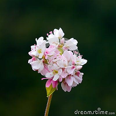 Flor do trigo mourisco