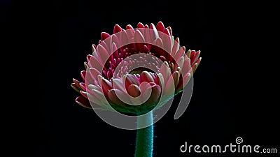A flor em botão do Gerbera abre