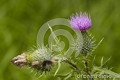 Flora - Mary thistle Stock Photo
