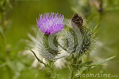 Flora - Mary thistle Stock Photo