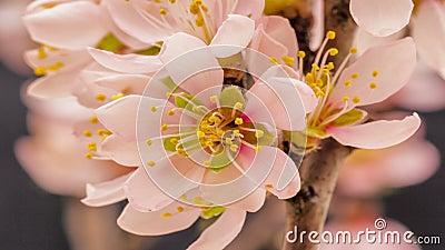 Floración de la flor del albaricoque