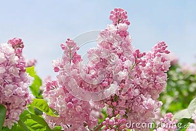 Floraison de lilas