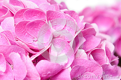 Flowers and petals of pink hydrangea
