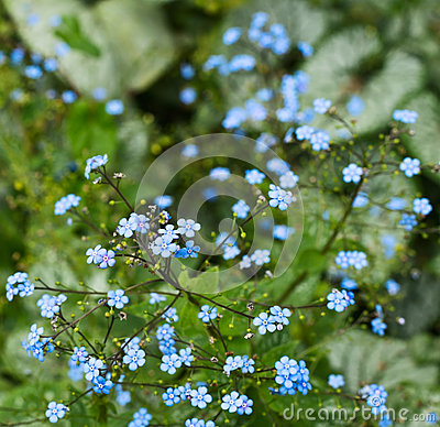 Free Floral Background Shot Of A Tiny Blue Flowers Royalty Free Stock Image - 32314806