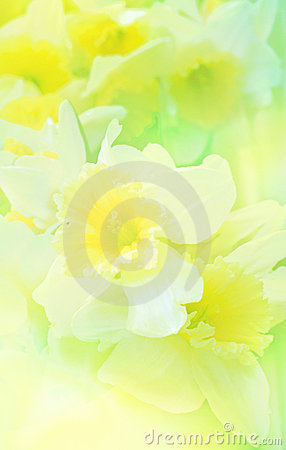 Free Floral Background With  Daffodil Royalty Free Stock Image - 16517976