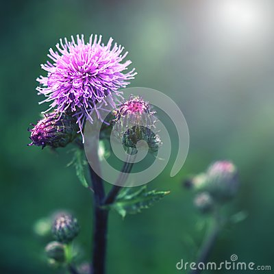 Free Floral Blue-violet Background. Pink Thorny Thistle Flower. Wet Blossom Royalty Free Stock Images - 119986899