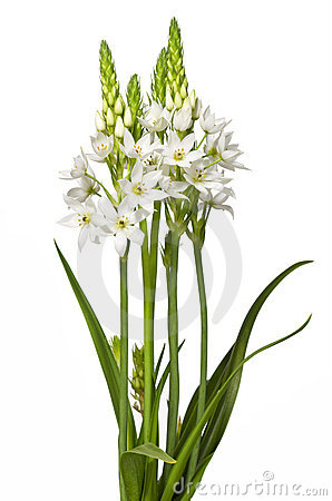 Free Floral Chincherinchee Flower Isolated Royalty Free Stock Photo - 13951395