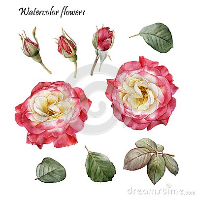Free Floral Design Elements. Flowers Set Of Watercolor Red Roses Stock Images - 104132654