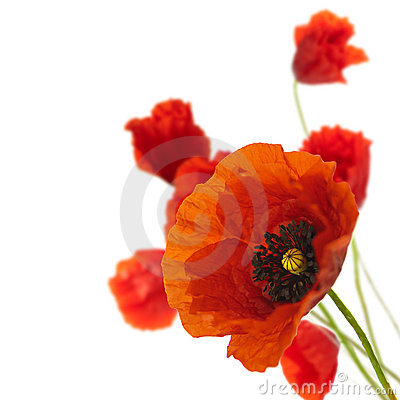 Floral design, spring flowers, poppies border