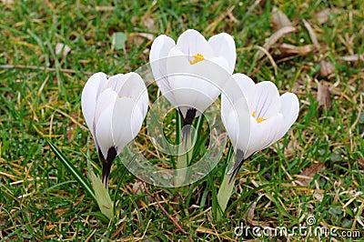 Flores Brancas Do Açafrão