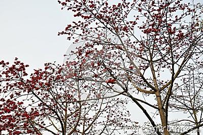 Flores carmesins da sumaúma da mola