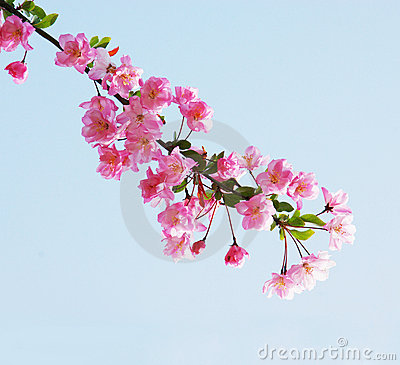 Flores chinas rosadas de la manzana de cangrejo de - Rosas chinas ...
