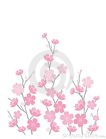Flores de cereja no branco