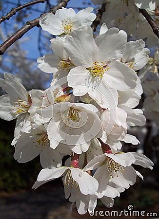 Flores de cereza macros