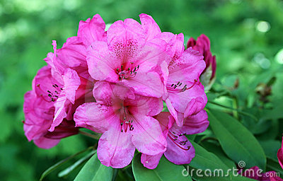 Flores de la azalea en la floración