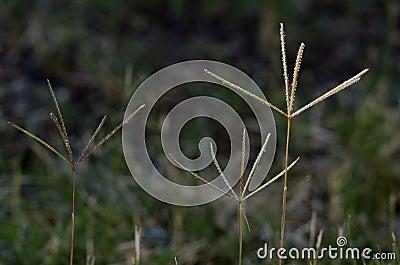 Flores de la hierba de Bermudas