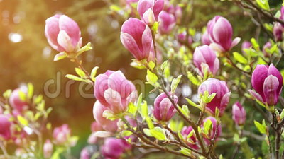 Flores de la magnolia en un fondo de la luz del sol metrajes