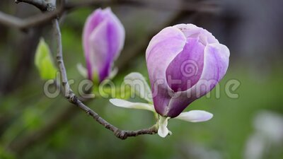Flores de magnolia florecen en el árbol almacen de metraje de vídeo