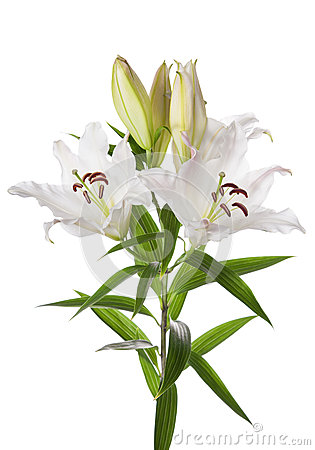 Flores del lirio blanco