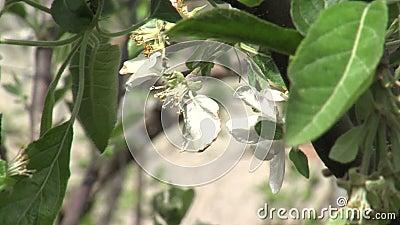 Flores del melocotón en el jardín del mar de Bourgas en Bulgaria almacen de video
