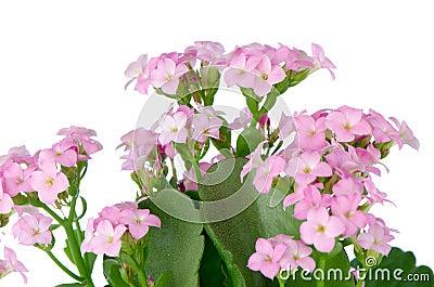 Flores e folhas cor-de-rosa bonitas do verde