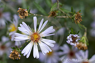 Flores perennes del aster del otoño.