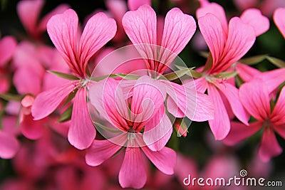 Flores rosadas de la cascada del geranio