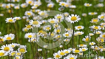 Flores salvajes hermosas en el prado en el Anthemis Ruthenica de la primavera