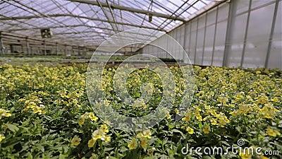 Flores verdes suculentas na estufa, uma enorme estufa moderna com um telhado de vidro. Cultivar flores numa estufa, uma video estoque