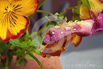 Flores violetas mojadas