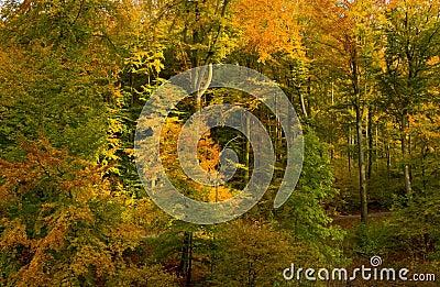 Floresta Da Faia No Outono